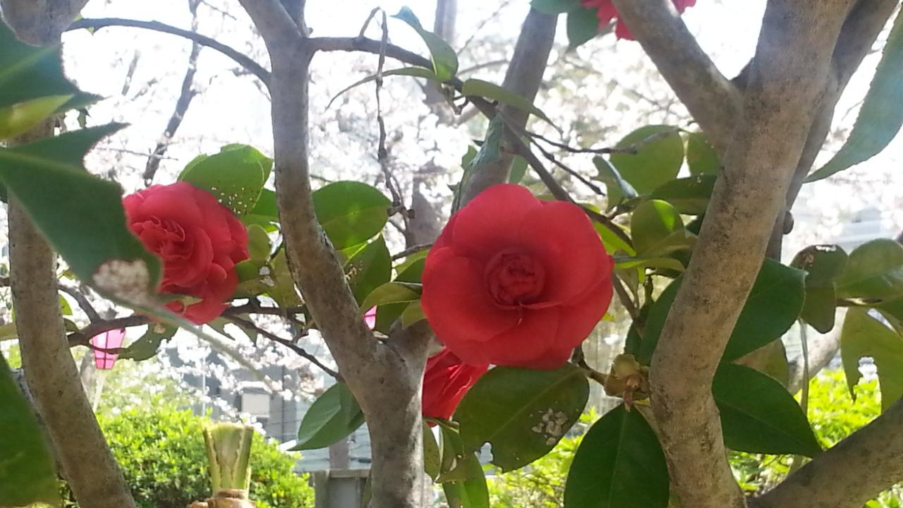 椿、桜。_f0235201_22072232.jpg