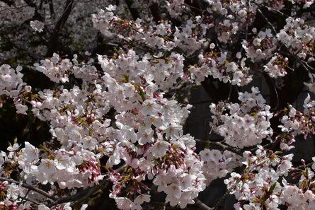 桜_b0186205_10595861.jpg