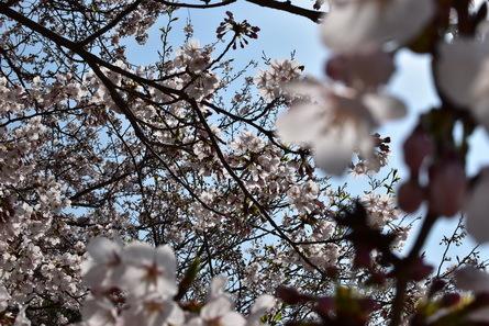 桜_b0186205_11001773.jpg