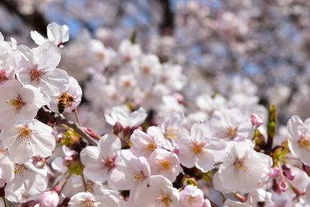 桜_b0186205_11002461.jpg