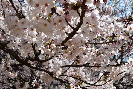 桜_b0186205_11004338.jpg