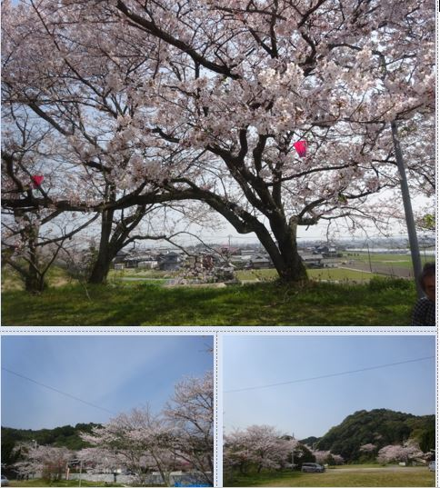 西条市 小松中央公園、吉田河原、久妙寺の桜巡り3分咲と追記で見頃の満開…2019/3/29_f0231709_19333812.jpg