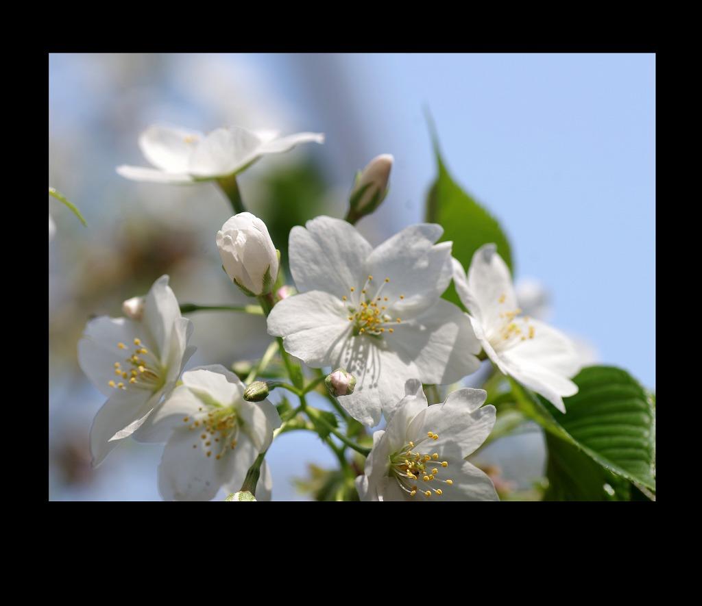 桜三昧_d0147812_21105231.jpg