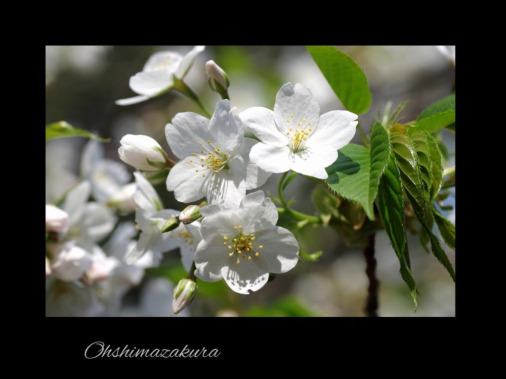 桜三昧_d0147812_21112082.jpg