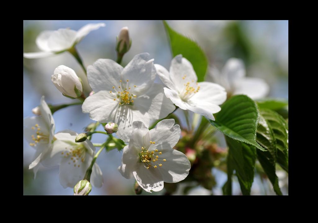 桜三昧_d0147812_2111677.jpg