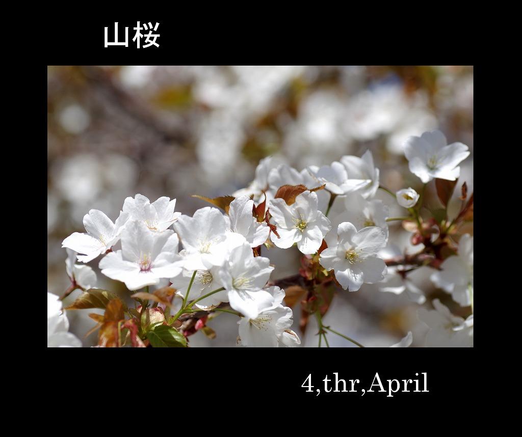 桜三昧_d0147812_21125677.jpg