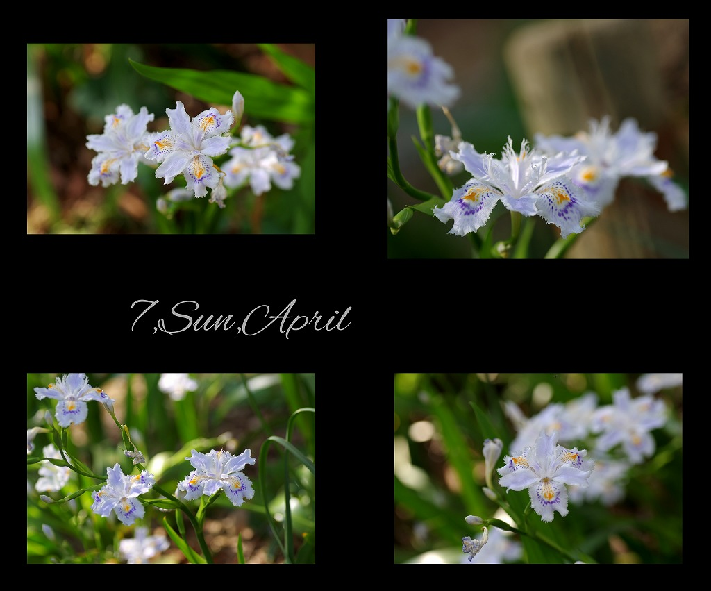 桜三昧_d0147812_2117455.jpg