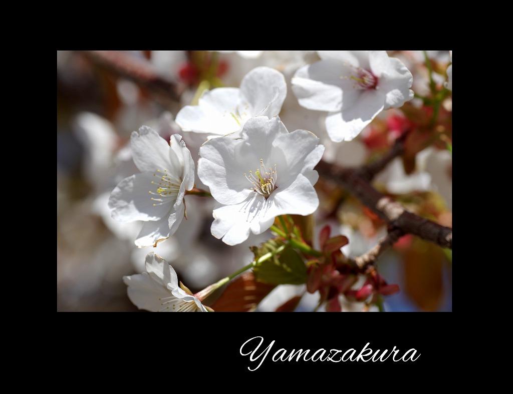 桜三昧_d0147812_21182813.jpg