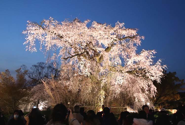 夜桜満喫 円山公園_e0048413_22320577.jpg