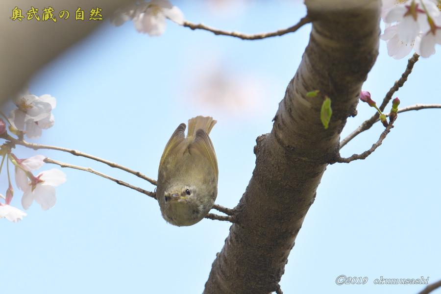 またも桜とウグイス_e0268015_20125943.jpg