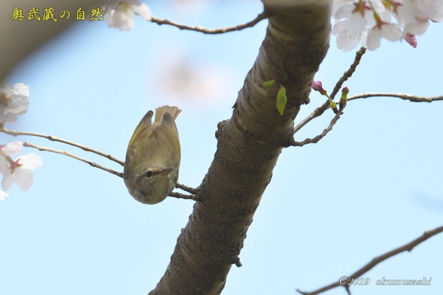 またも桜とウグイス_e0268015_20131596.jpg