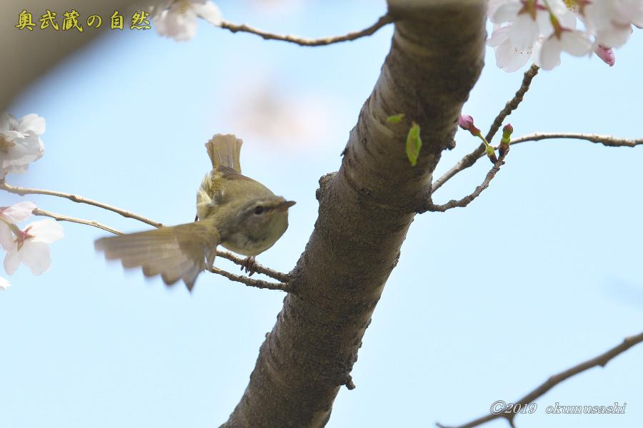 またも桜とウグイス_e0268015_20132894.jpg