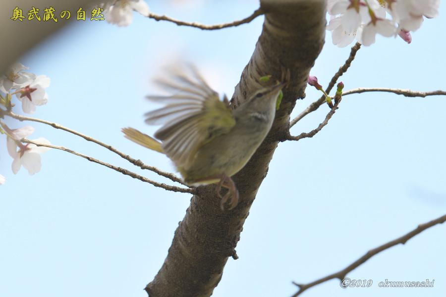またも桜とウグイス_e0268015_20134502.jpg