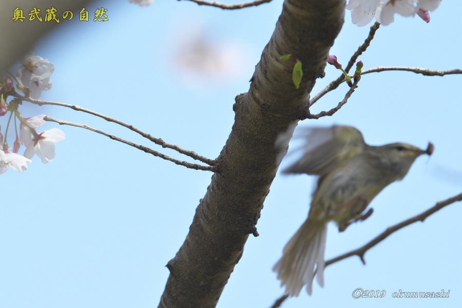 またも桜とウグイス_e0268015_20135788.jpg