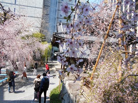 京都・桜めぐり1(4月4日 木 2019年)_a0099744_15080724.jpg