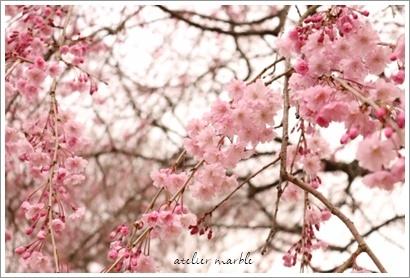 桜♪_a0310054_15000692.jpg