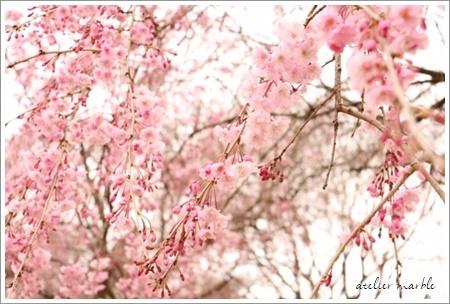 桜♪_a0310054_15003803.jpg