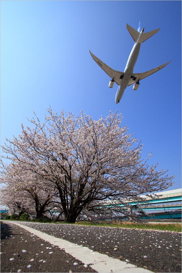 桜 2019 / 3 - 福岡空港_c0308259_00243241.jpg