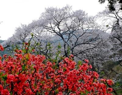 吉野山の桜開花情報♪_b0194861_10401636.jpg