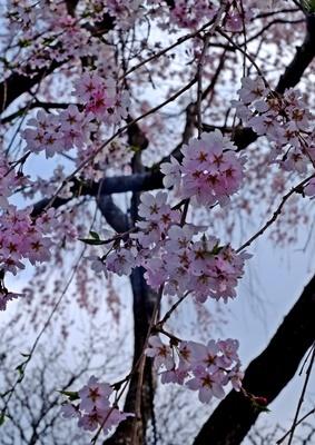 吉野山の桜開花情報♪_b0194861_10411534.jpg