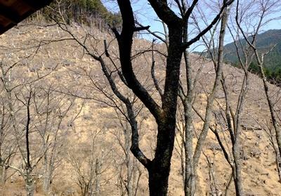吉野山の桜開花情報♪_b0194861_10432885.jpg