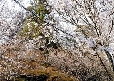 吉野山の桜開花情報♪_b0194861_10442163.jpg