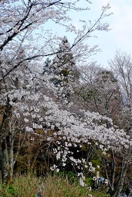 吉野山の桜開花情報♪_b0194861_10455282.jpg