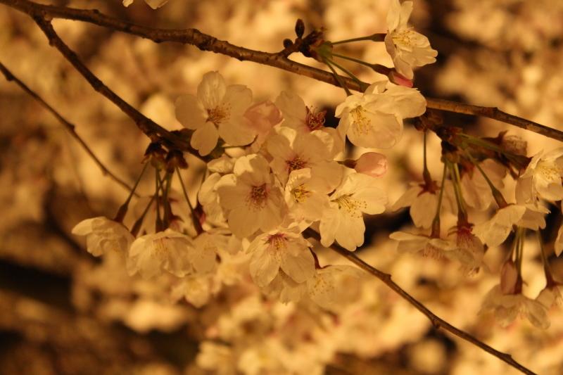 4月6日 東寺の桜は見頃です_a0023466_09024621.jpg
