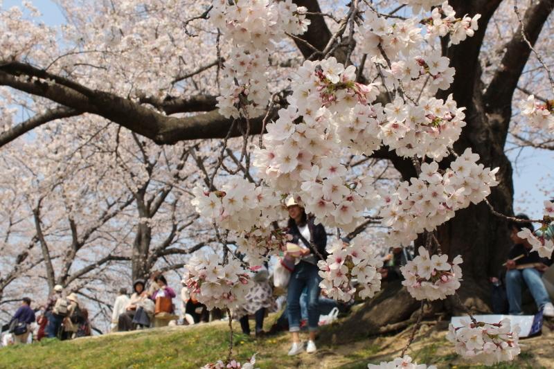 4月7日 背割堤の桜_a0023466_18115194.jpg