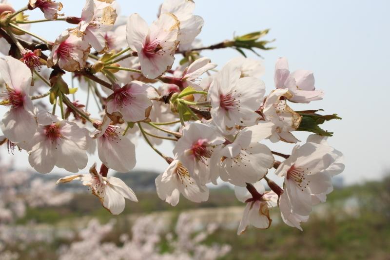 4月7日 背割堤の桜_a0023466_18120389.jpg