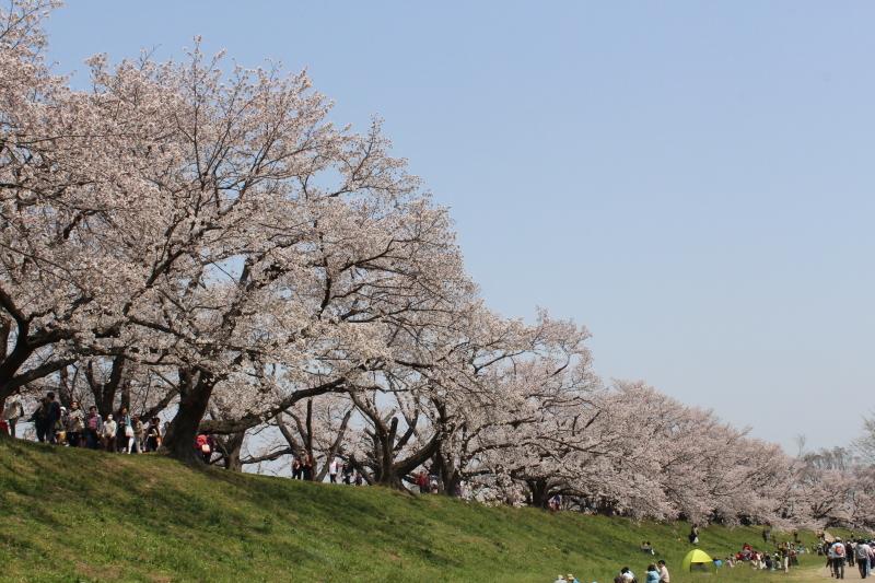4月7日 背割堤の桜_a0023466_18121449.jpg