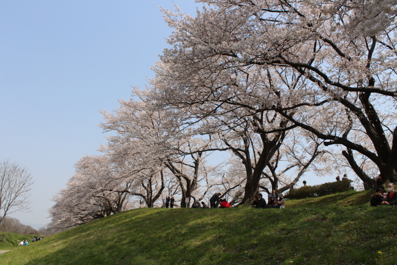 4月7日 背割堤の桜_a0023466_18123943.jpg