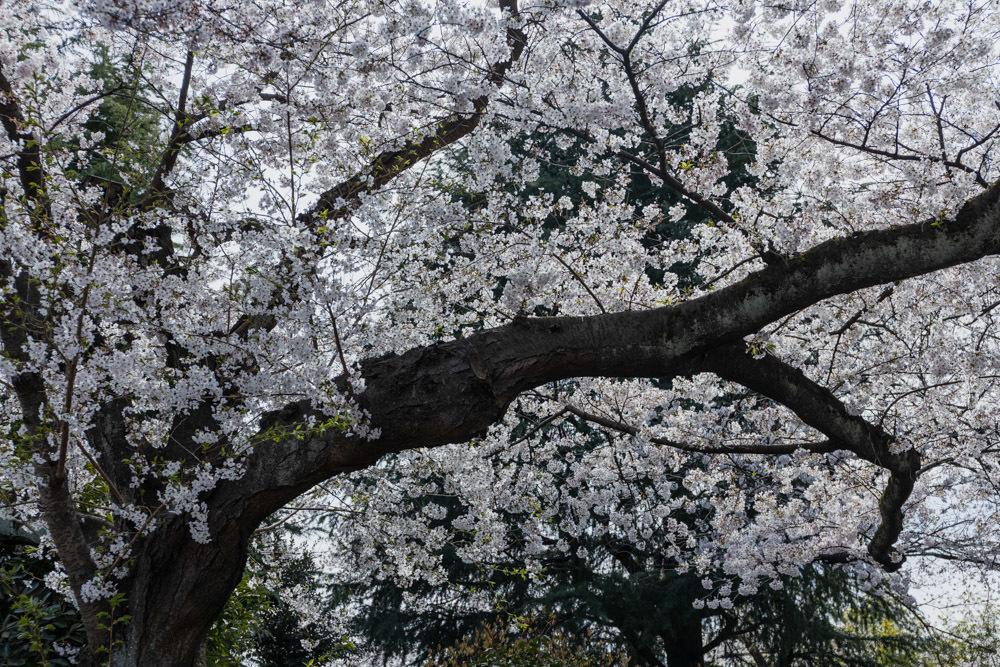 桜並木 満開_a0261169_01272012.jpg