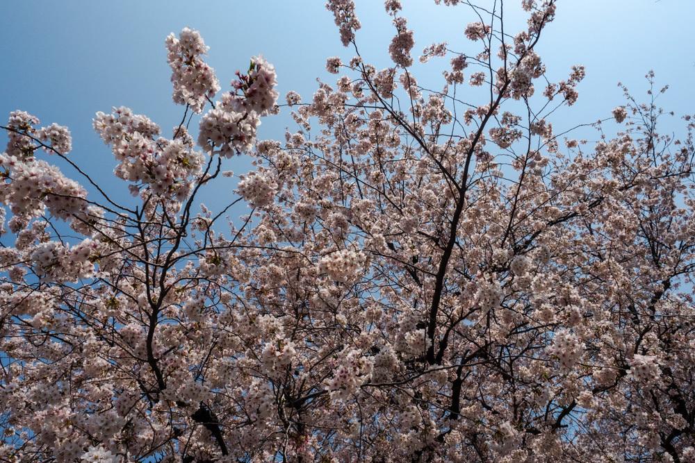 桜並木 満開_a0261169_15521413.jpg