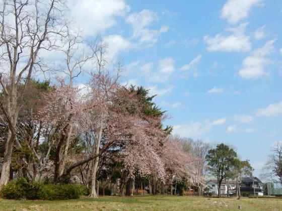 勝手に桜ツアー ご近所編_e0355177_13422371.jpg