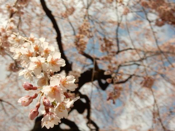 勝手に桜ツアー ご近所編_e0355177_13455433.jpg