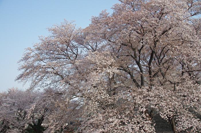 桜物語 2019 春 その4 近所のソメイヨシノ_d0016587_20300002.jpg