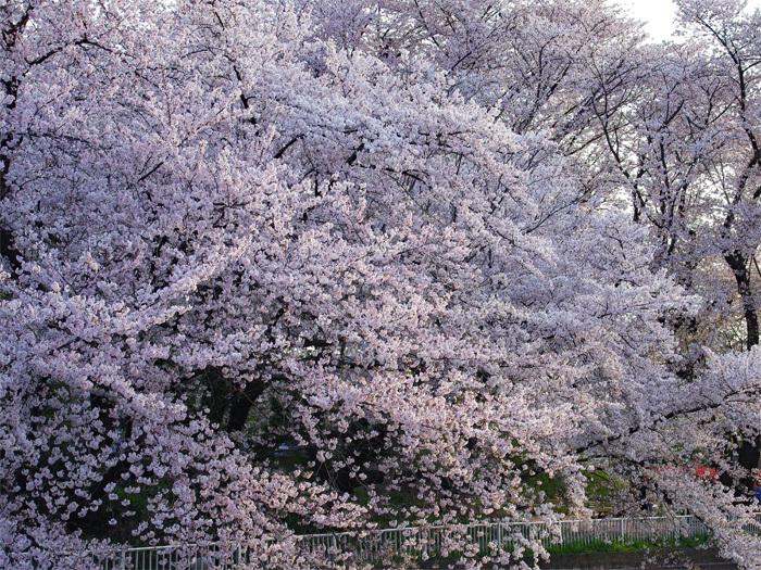 桜物語 2019 春 その4 近所のソメイヨシノ_d0016587_20395266.jpg