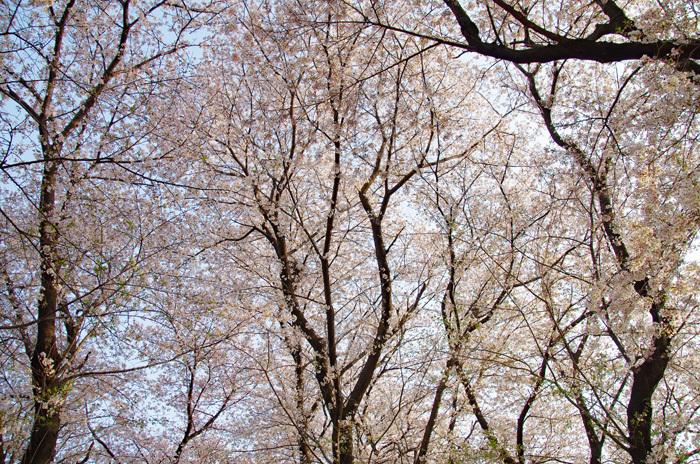 桜物語 2019 春 その4 近所のソメイヨシノ_d0016587_20403615.jpg