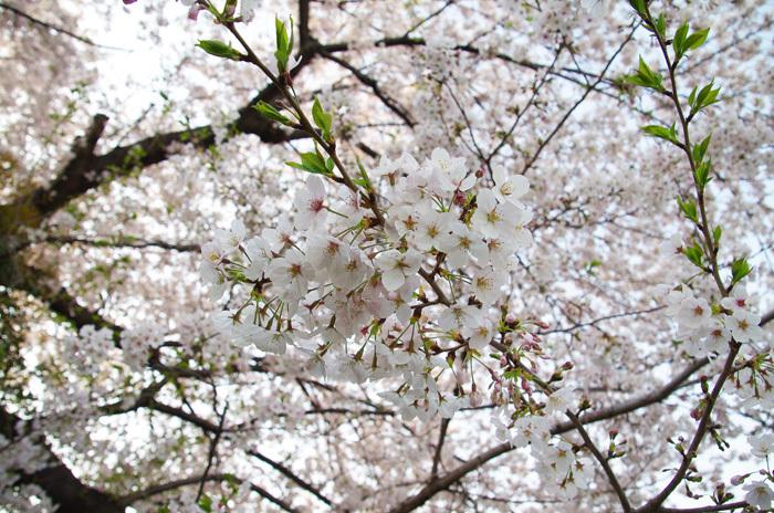 桜物語 2019 春 その4 近所のソメイヨシノ_d0016587_20404654.jpg