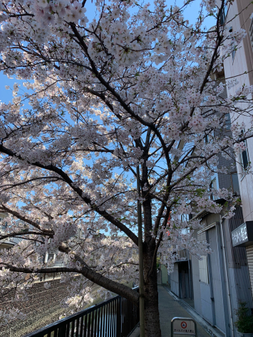 内川橋の桜🌸満開_a0112393_20224720.jpg