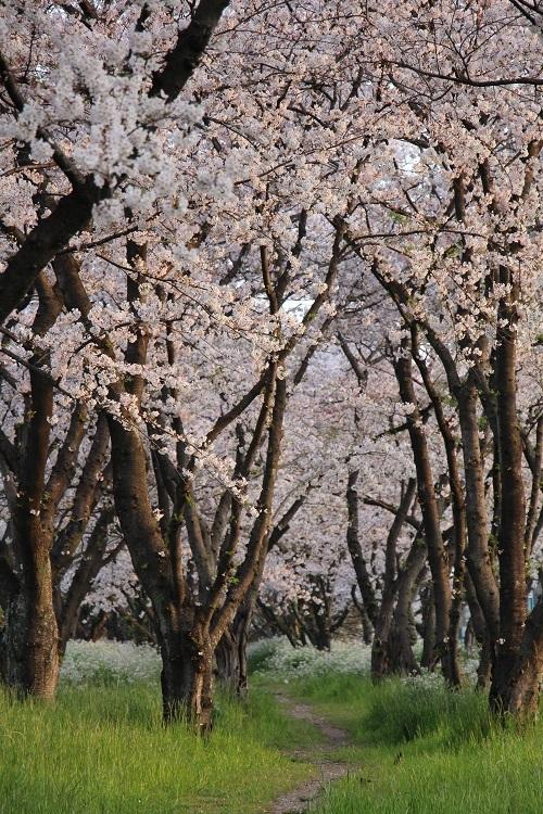 お花見散歩_a0333195_13201859.jpg