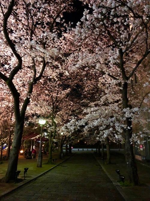 桜 サクラ SAKURA_c0108595_01475702.jpg