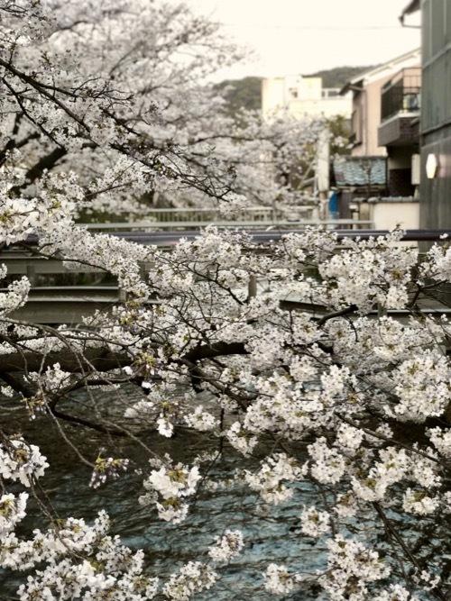 桜 サクラ SAKURA_c0108595_01520848.jpg
