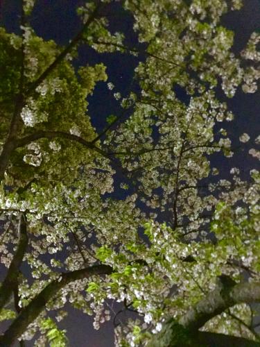 夜桜_f0061797_01253518.jpg