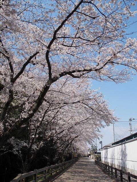姫路城周辺の桜_e0289203_10432990.jpg