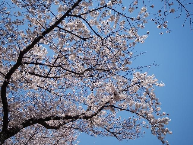 姫路城周辺の桜_e0289203_10433272.jpg