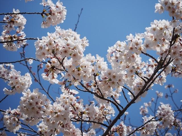 姫路城周辺の桜_e0289203_10433450.jpg