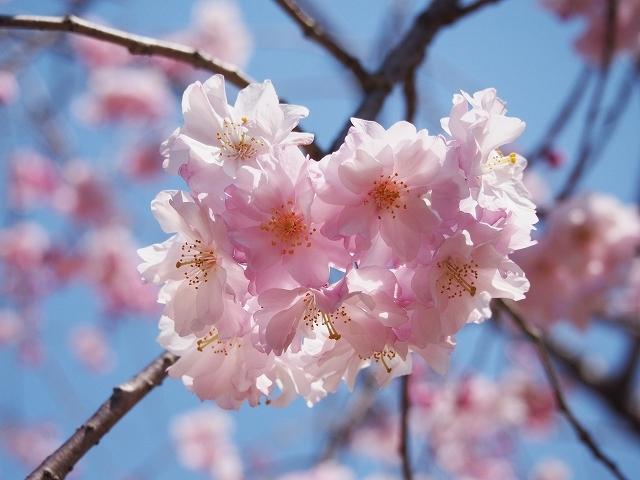 姫路城周辺の桜_e0289203_10433714.jpg