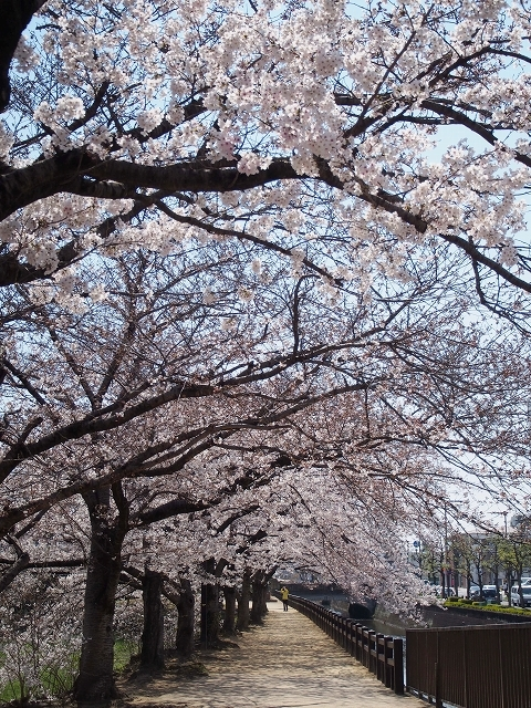 姫路城周辺の桜_e0289203_10434010.jpg